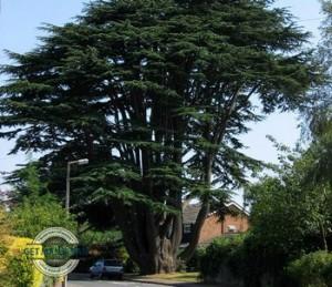 Aperfield-Cedar